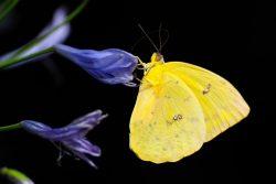Un papillon jaune