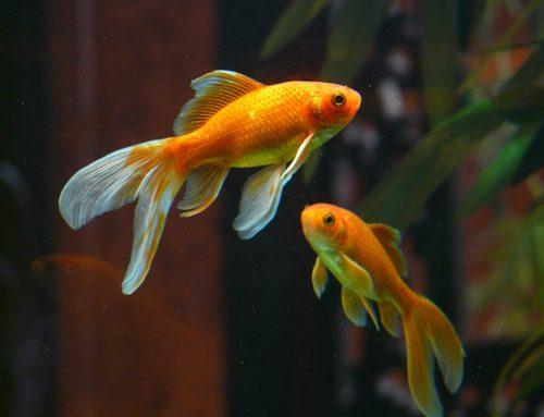 Votre capacité d'attention est-elle égale à un poisson rouge?