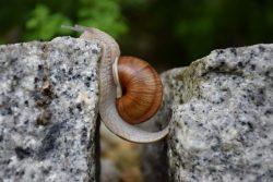 Escargot entre deux roches